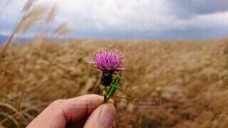 風景,花,手持ち,ススキ,人物,アザミ,高原,草木,手元