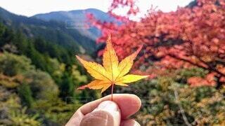 風景,秋,紅葉,葉,もみじ,山,手持ち,草木,手元,カエデ,カエデの葉