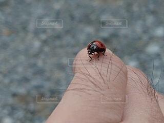 てんとう虫のクローズアップの写真・画像素材[3693474]