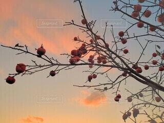秋空と柿の写真・画像素材[3812072]