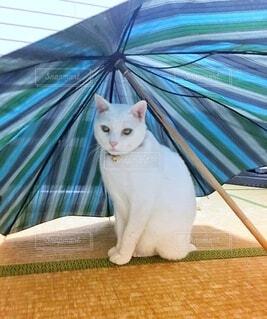 傘の中がお気に入りの我が家の可愛い猫様の写真・画像素材[3671626]