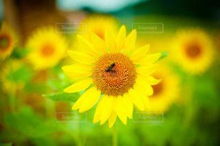 夏のヒマワリと蜜蜂の写真・画像素材[3600191]