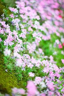 撫子畑の写真・画像素材[3606077]