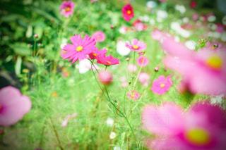 咲きほこるコスモスの写真・画像素材[3606080]