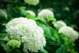 白いあじさいの花の写真・画像素材[3606091]