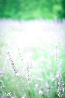 淡いラベンダーのお花の写真・画像素材[3606084]