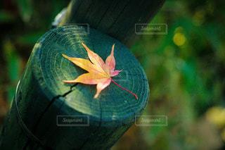 苔むす杭の上に佇む一葉の紅葉の写真・画像素材[3606551]