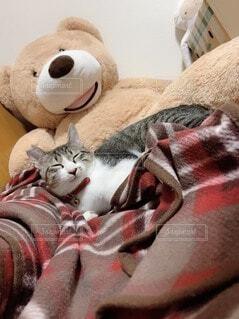 くまさんと寝てるねこさんの写真・画像素材[4181884]