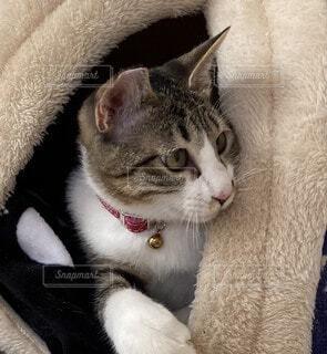 ハウスから顔をのぞかせる子猫の写真・画像素材[4181881]