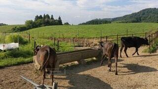風景,空,動物,屋外,牛,牧場,草,たてがみ,地面,家畜,汚れ,ファーム,マーレ,ラバ,使役動物