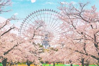 満開の桜と観覧車の写真・画像素材[3611334]