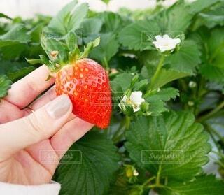 食べ物,季節,いちご,苺,手持ち,フルーツ,果物,人物,ベリー,ポートレート,ライフスタイル,草木,旬,手元,イチゴ