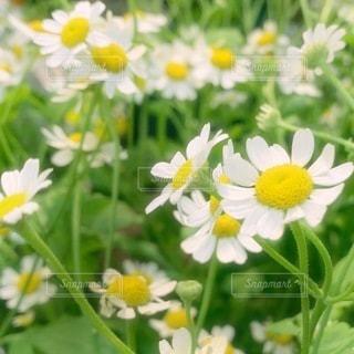 花のクローズアップ カモミールの写真・画像素材[3637716]