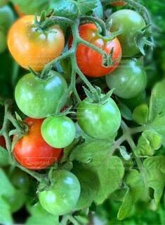 トマトのクローズアップの写真・画像素材[3666452]