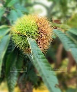 植物のクローズアップ 栗の写真・画像素材[3668742]