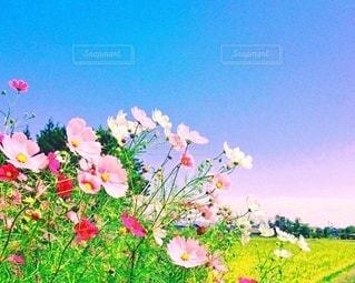田んぼのあぜみちに咲くコスモスの写真・画像素材[3634588]
