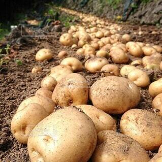 食べ物,春,野菜,食品,食材,フレッシュ,ベジタブル,宇和島,じゃがいも,段々畑,男爵,馬鈴薯