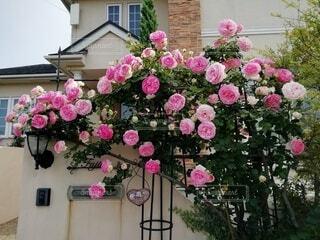 庭のピエール・ド・ロンサールの写真・画像素材[3623109]