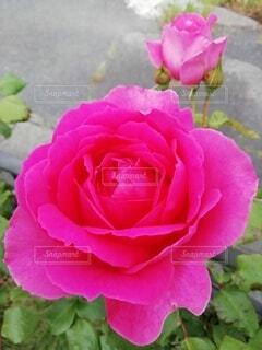 薔薇のクローズアップの写真・画像素材[3623113]
