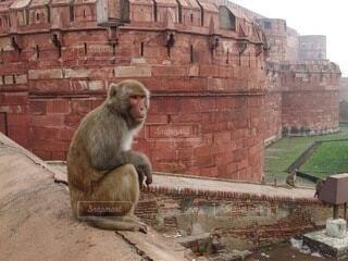 インド アグラ城の猿の写真・画像素材[3627908]