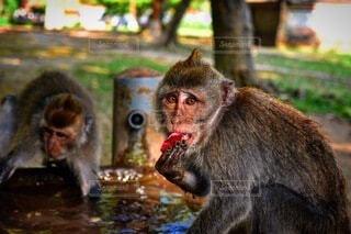水浴び中の猿の写真・画像素材[3628438]