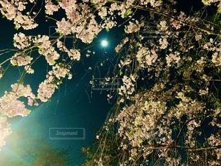 枝垂れ桜と月の写真・画像素材[3924754]