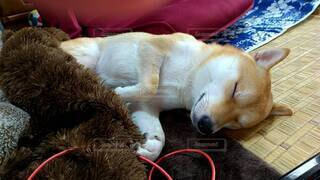 毛布の上で眠っている犬の写真・画像素材[4069643]