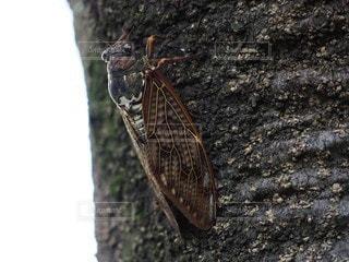 木にとまっている蝉の写真・画像素材[3635324]