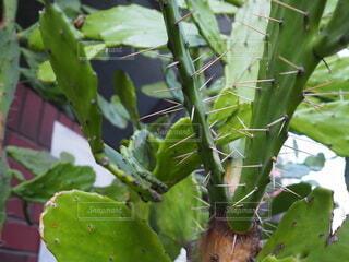 緑の植物のサボテンの写真・画像素材[3715711]