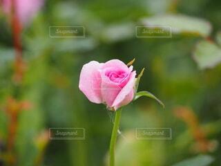 バラの花のクローズアップの写真・画像素材[3729835]