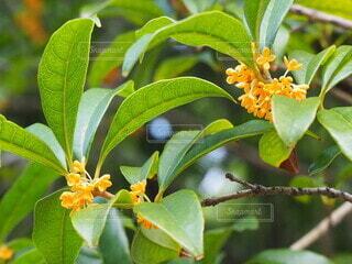 金木犀が咲いてましたの写真・画像素材[3746272]