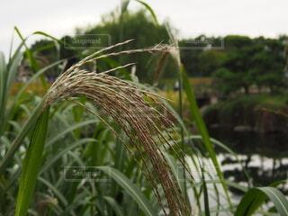 庭のススキの写真・画像素材[3797677]