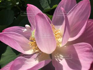 古代ハスの花びらがハート🧡に見えて╰(*´︶`*)╯♡の写真・画像素材[3644633]