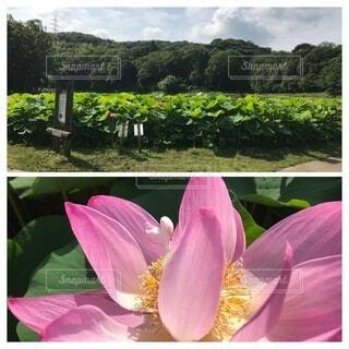 ピンクの花のグループ(古代ハス)の写真・画像素材[3707300]