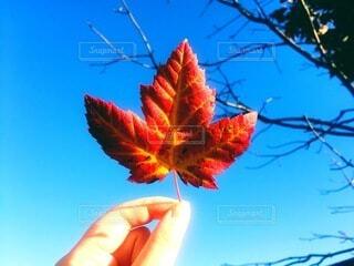自然,アウトドア,空,秋,カメラ,紅葉,屋外,海外,散歩,青い空,葉,手持ち,人物,人,旅行,写真,ポートレート,快晴,カナダ,秋晴れ,ライフスタイル,手元,カエデ