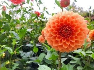 花園のダリアの写真・画像素材[3724197]
