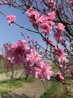 公園,花,桜,ピンク