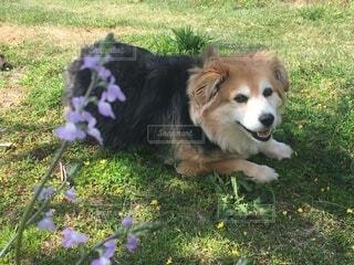 草の上に横たわっている犬の写真・画像素材[3666099]