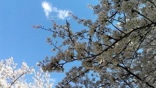 空,花,桜,季節,花見,影,光,風,香り,桜見,春風