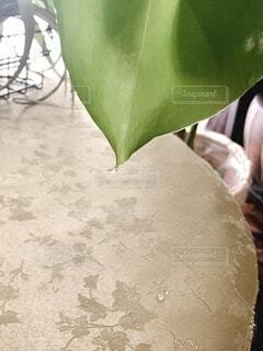 モンステラの蒸散の写真・画像素材[4916529]