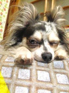 ベッドの上に横たわる犬の写真・画像素材[1216251]
