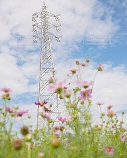 コスモス畑の写真・画像素材[3649175]