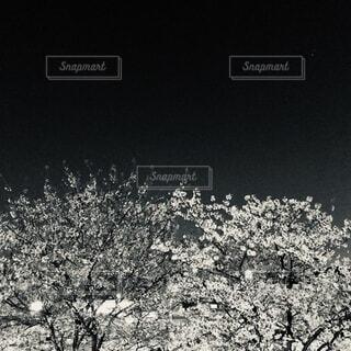 夜桜の写真・画像素材[3649967]
