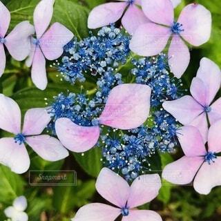 紫陽花の写真・画像素材[3649996]