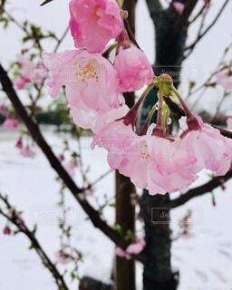 雪桜の写真・画像素材[3650001]