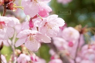 桜の写真・画像素材[3673981]