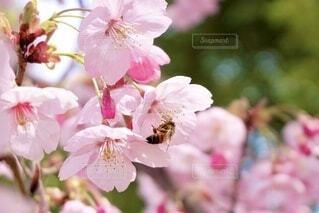 桜の花とみつばちの写真・画像素材[3673982]