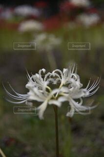 白い彼岸花の写真・画像素材[3725911]