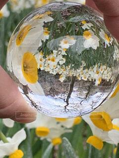 花,白,黄色,手,手持ち,水仙,たくさん,ポートレート,手元,レンズボール