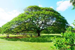 モアナルア庭園を背景に緑豊かな畑の真ん中にある木の写真・画像素材[3688897]